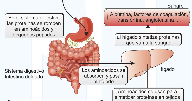 Proteinas-y-Músculo-Esquelético