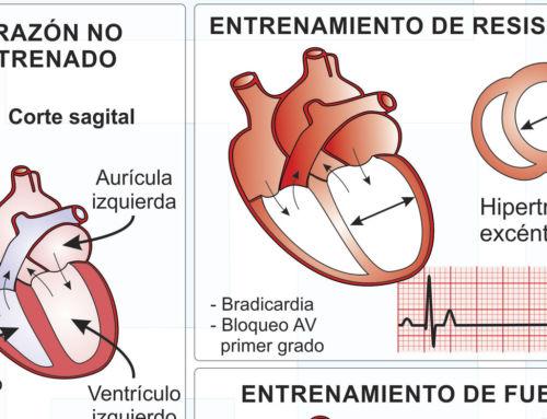 Adaptaciones cardiacas al entrenamiento