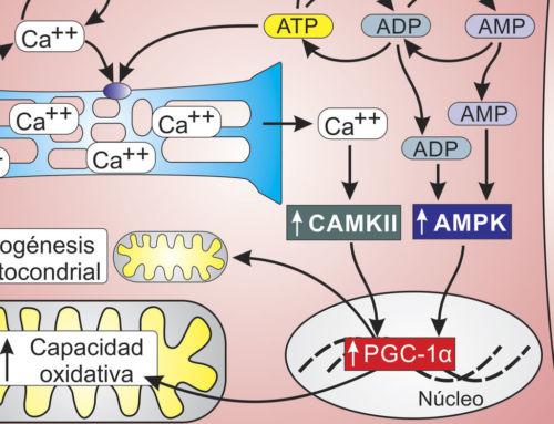 Adaptaciones mitocondriales al ejercicio intenso