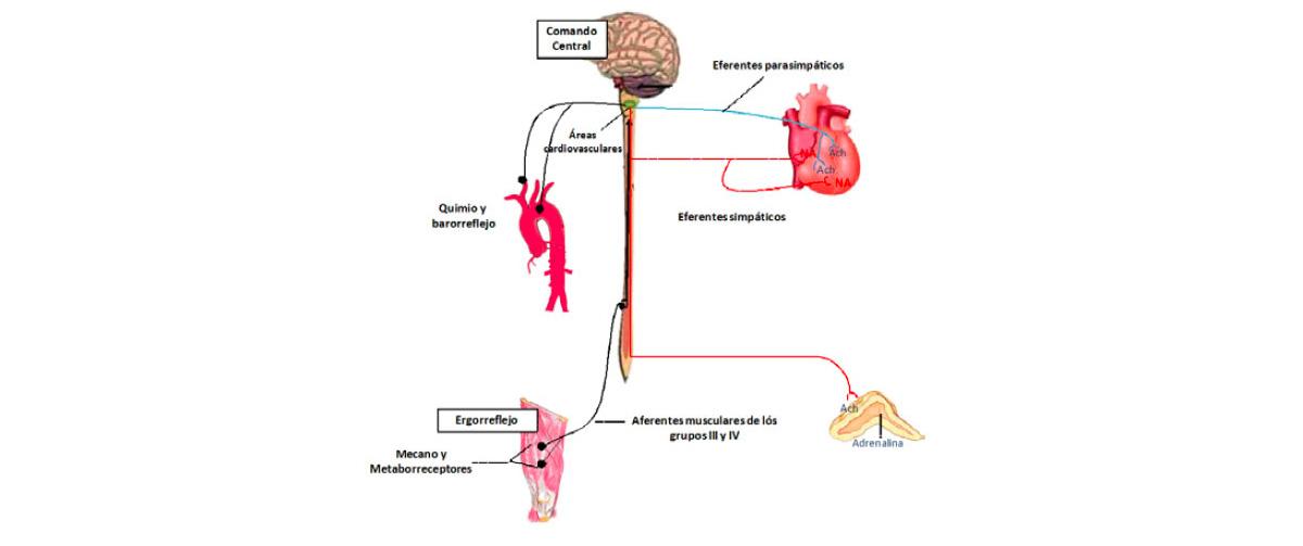 ergorreflejo-fisiologia